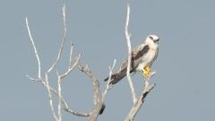 Black-shouldered Kite (Image ID 34113)