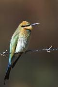 Rainbow Bee-eater (Image ID 34162)