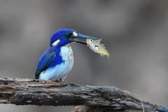 Little Kingfisher (Image ID 33945)