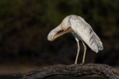 Yellow-billed Spoonbill (Image ID 34264)