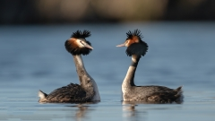 Great Crested Grebe (Image ID 34092)