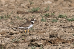 Little Ringed Plover (Image ID 34100)