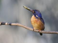 Azure Kingfisher (Image ID 34002)