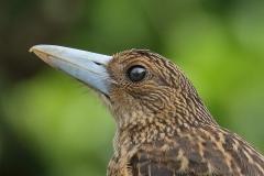 Black Butcherbird (Image ID 34051)