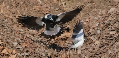 Australian Magpie, Magpie-lark (Image ID 34084)
