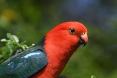 Australian King-Parrot (Image ID 34164)