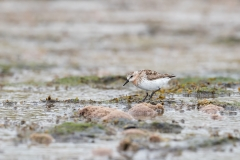 Red-necked Stint (Image ID 34208)