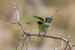 Rainbow Bee-eater (Image ID 34127)