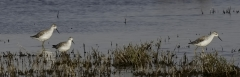 Marsh Sandpiper (Image ID 34169)