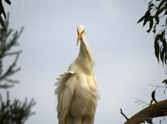 Great Egret (Image ID 34036)