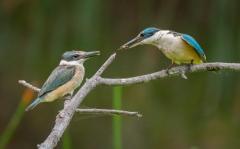 Sacred Kingfisher (Image ID 34296)