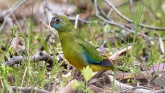 Turquoise Parrot (Image ID 33930)