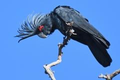 Palm Cockatoo (Image ID 34163)