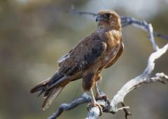 Brown Falcon (Image ID 33975)