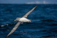 Buller's Albatross (Image ID 34280)
