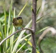 Yellow-throated Scrubwren (Image ID 34279)