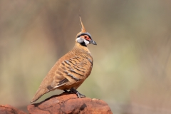 Spinifex Pigeon (Image ID 33964)