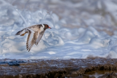 Hooded Plover (Image ID 34137)
