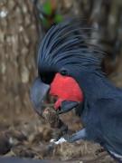 Palm Cockatoo (Image ID 33978)