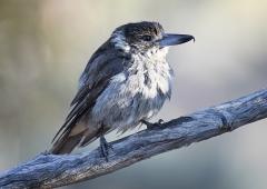 Grey Butcherbird (Image ID 34066)