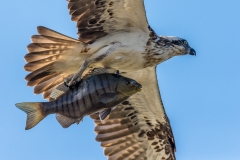 Osprey (Image ID 33910)