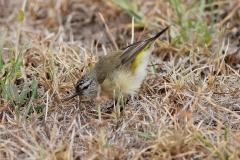 Yellow-rumped Thornbill (Image ID 34318)