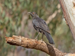 White-winged Chough (Image ID 34274)