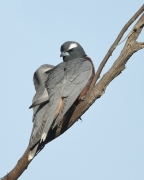 White-browed Woodswallow (Image ID 34108)
