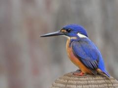Azure Kingfisher (Image ID 33987)
