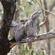 Tawny Frogmouth (Image ID 34282)