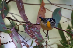 Spotted Pardalote (Image ID 34323)