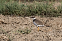 Little Ringed Plover (Image ID 34101)