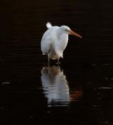 Great Egret (Image ID 34285)