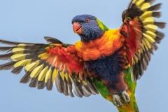 Rainbow Lorikeet (Image ID 34091)