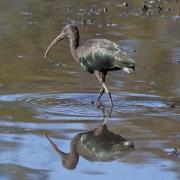 Glossy Ibis (Image ID 34197)