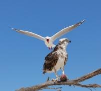 Osprey, Silver Gull (Image ID 34085)