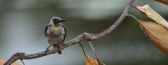 Little Friarbird (Image ID 34251)