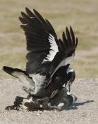 Australian Magpie (Image ID 34083)