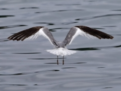 Sabine's Gull (Image ID 34225)