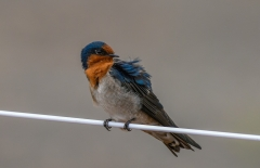 Welcome Swallow (Image ID 34358)