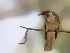 Noisy Friarbird (Image ID 34269)