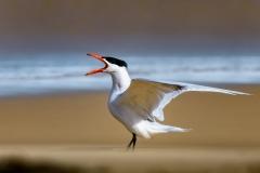 Caspian Tern (Image ID 34136)