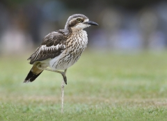 Bush Stone-curlew (Image ID 34341)