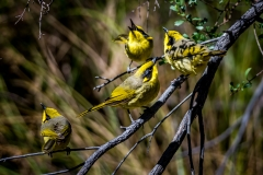 Yellow-tufted Honeyeater (Image ID 34185)