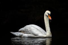 Mute Swan (Image ID 34089)