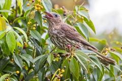 Australasian Figbird (Image ID 34357)