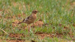 Red-throated Pipit (Image ID 34501)