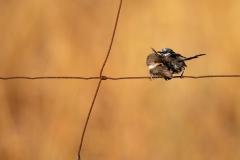 Superb Fairy-wren (Image ID 34596)