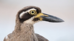 Beach Stone-curlew (Image ID 34655)