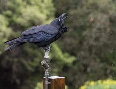 Australian Raven (Image ID 34516)